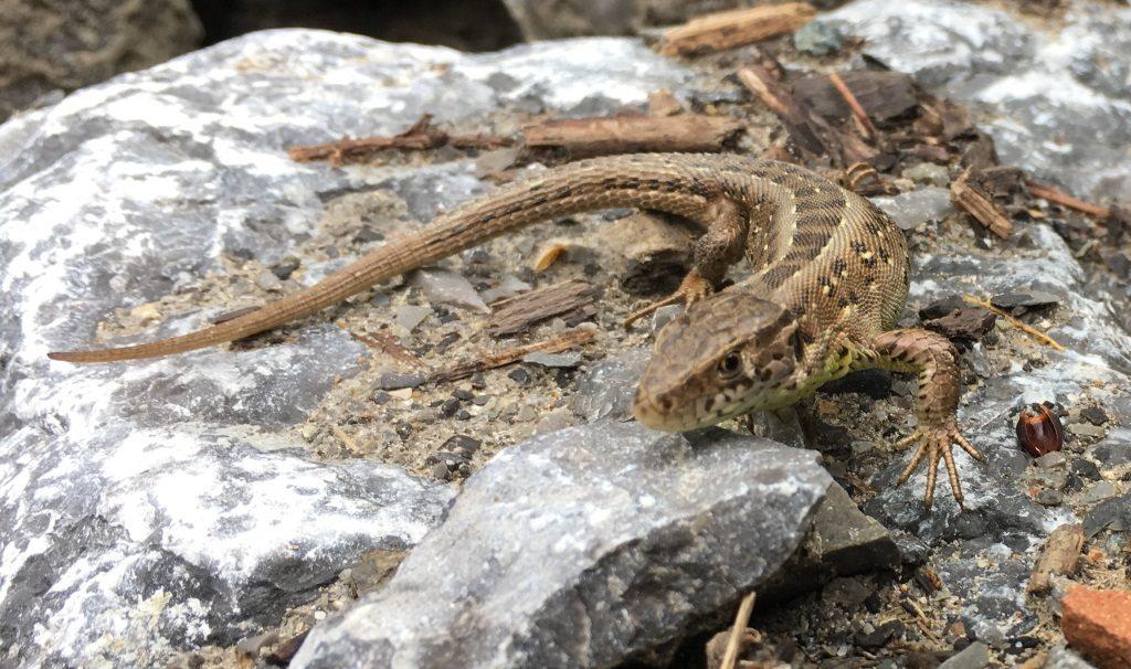 Habitatbau und Eidechsenumsiedlung (Worms)