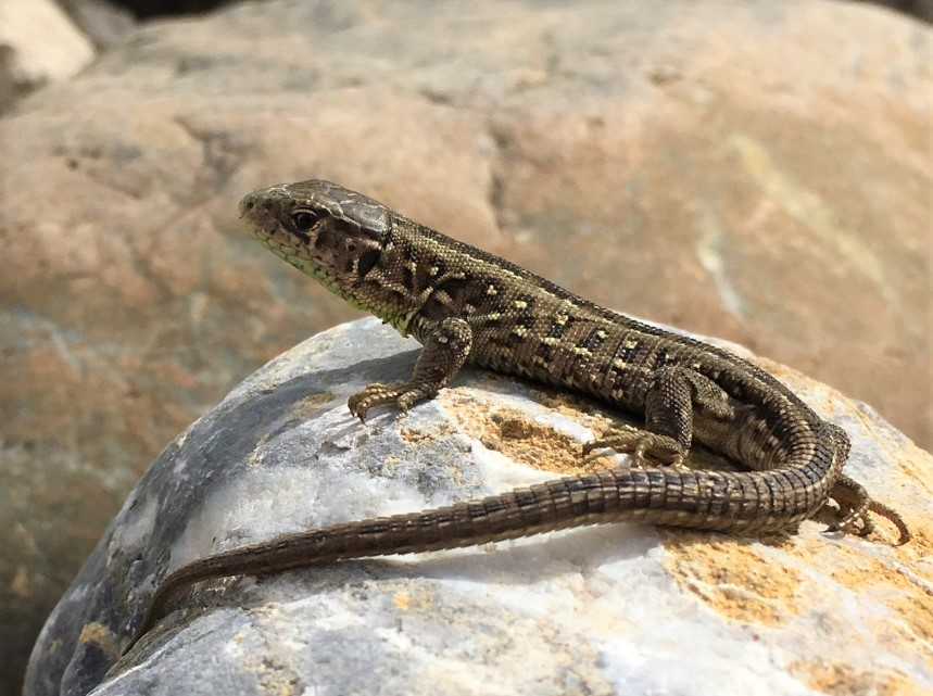 Reptil des Jahres 2020: Die Zauneidechse